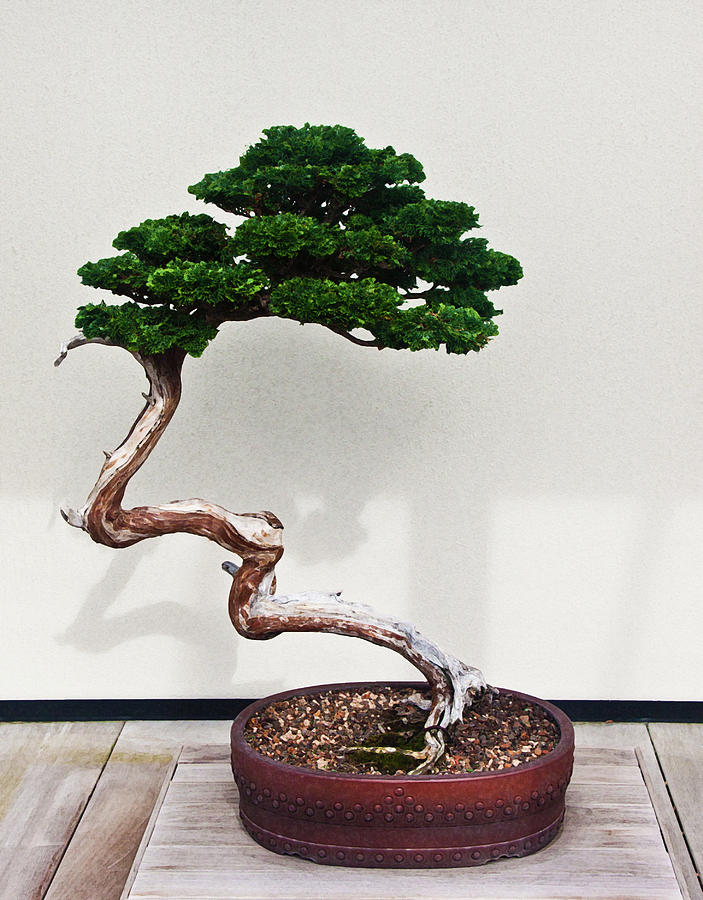 Bonsai Hinoki False Cypress Photograph By Frank Tozier