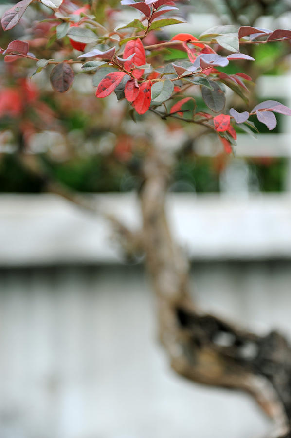 Red Photograph - Bonsai by Jessica Rose