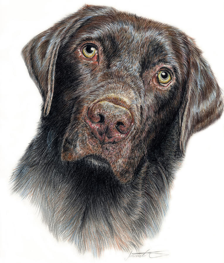 Choclate Lab Drawing - Boomer by Joanne Stevens