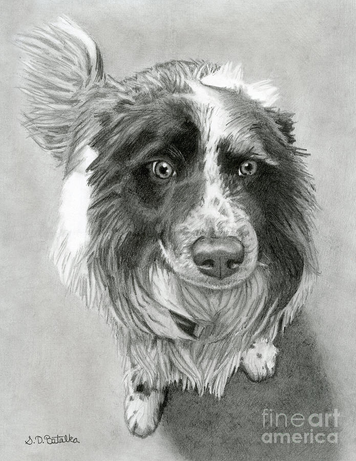 Border Collie Drawing - Border Collie by Sarah Batalka
