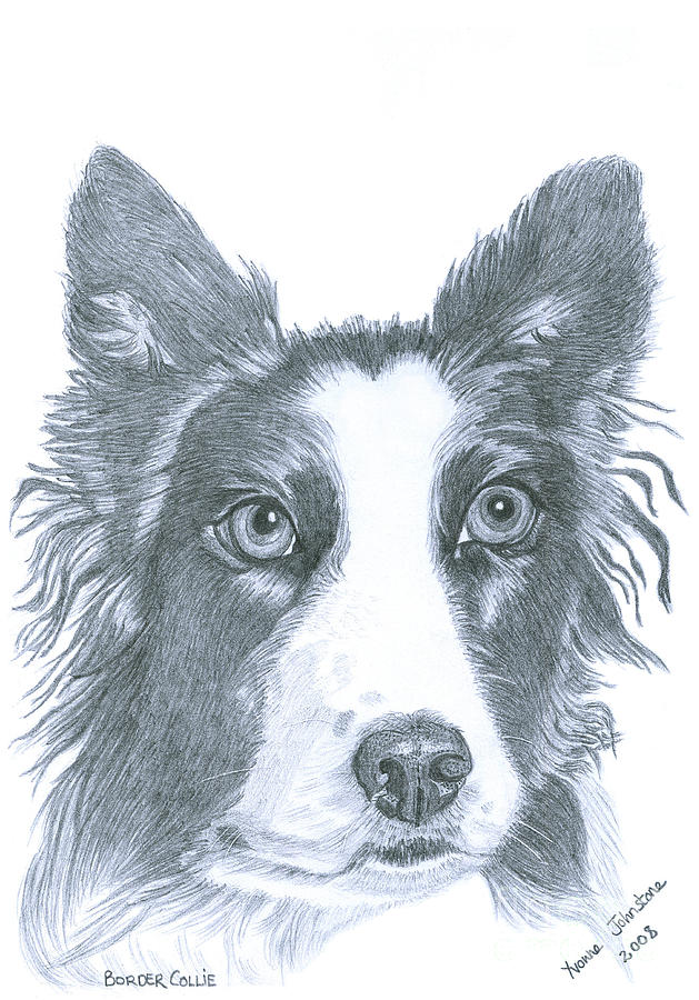 Border Collie Drawing - Border Collie by Yvonne Johnstone