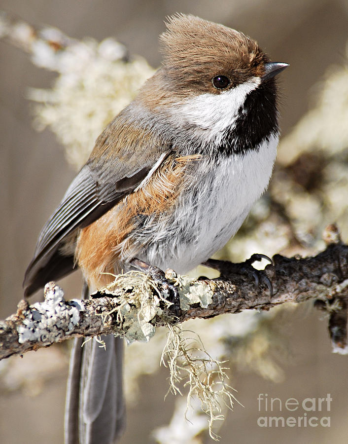 Nature Photograph - Boreal Chickadee by Larry Ricker