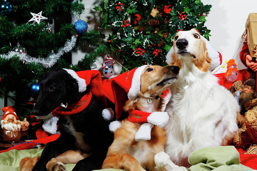 Borzoi Hounds Dressed As Father Christmas Photograph