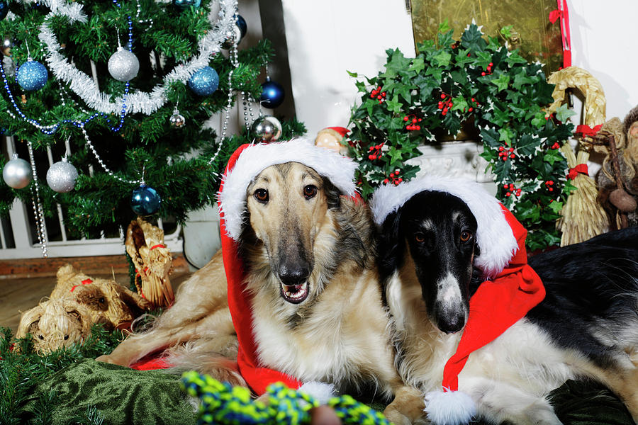 Borzoi Puppies Wishing A Merry Christmas Photograph