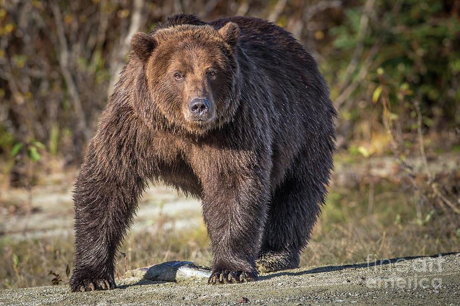 Adventure Photograph - Boss Bear  by Rob Daugherty