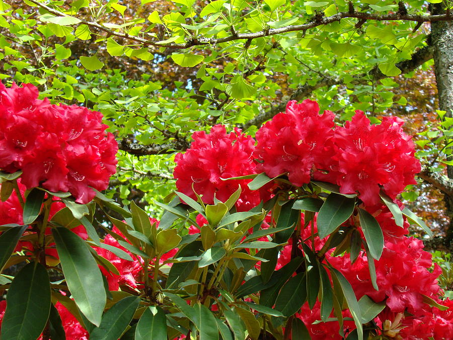 Rhodies Photograph - Botanical Garden Art Prints Red Rhodies Trees Baslee Troutman by Baslee Troutman