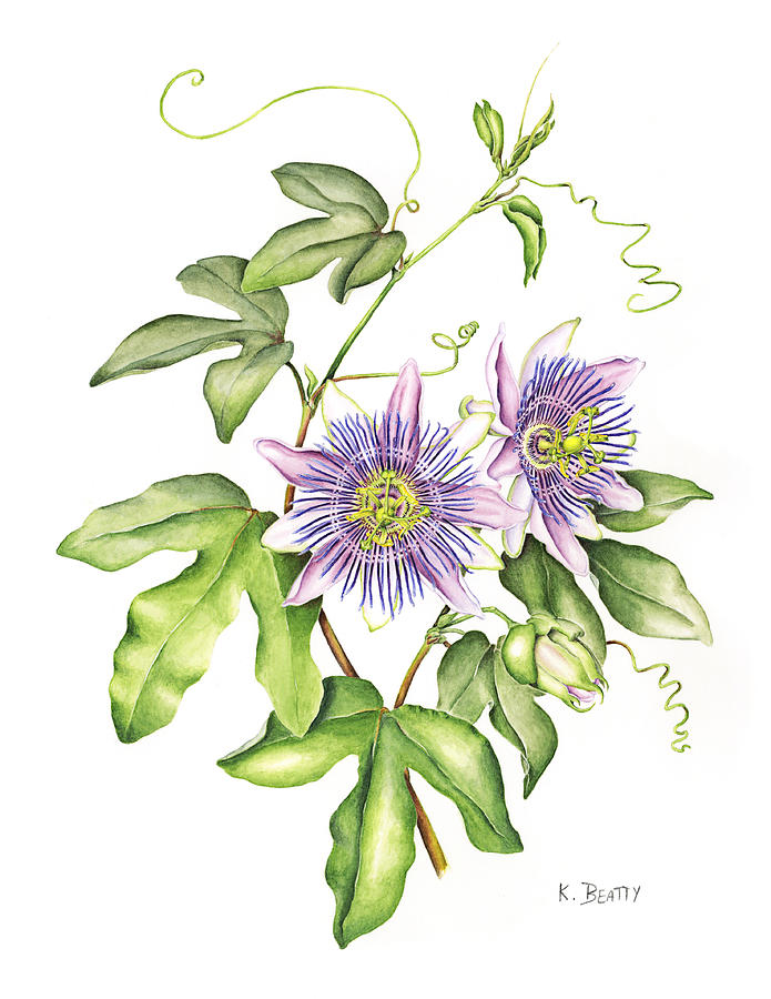 Botanical Painting - Botanical Illustration Passion Flower by Karla Beatty