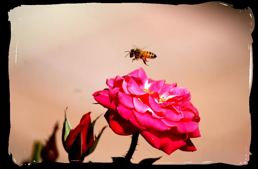 Bee Photograph - Both Beeuties by Ellen Lerner ODonnell