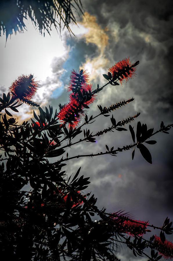 Nature Photograph - Bottle Brush Plant by Joseph Hollingsworth