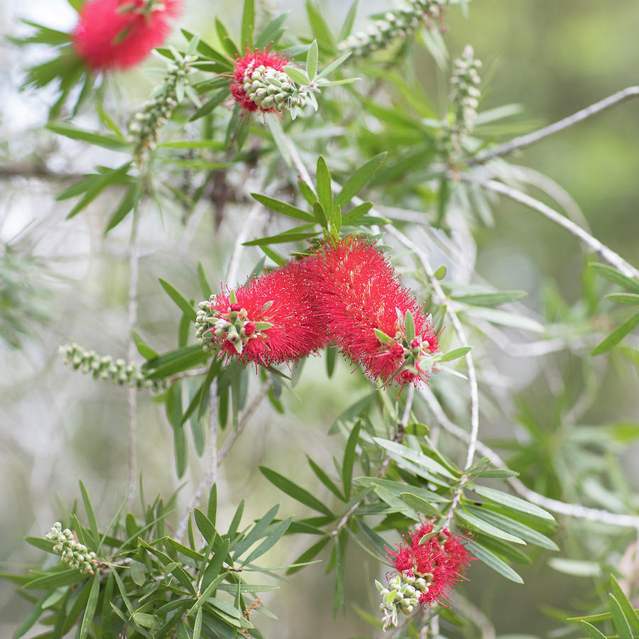 Alone Photograph - Bottlebrush by Raphael Lopez