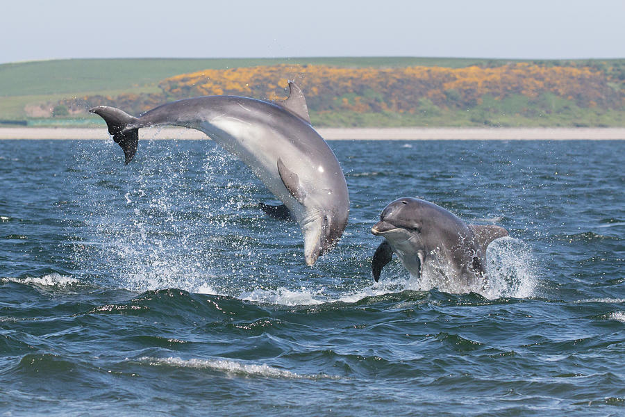 Bottlenose Dolphin - Moray Firth Scotland #49 by Karen Van Der Zijden