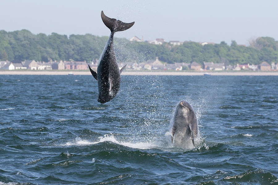 Bottlenose Dolphins - Moray Firth Scotland #46 by Karen Van Der Zijden