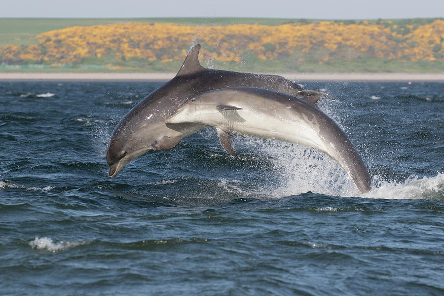 Bottlenose Dolphins - Moray Firth Scotland #47 by Karen Van Der Zijden