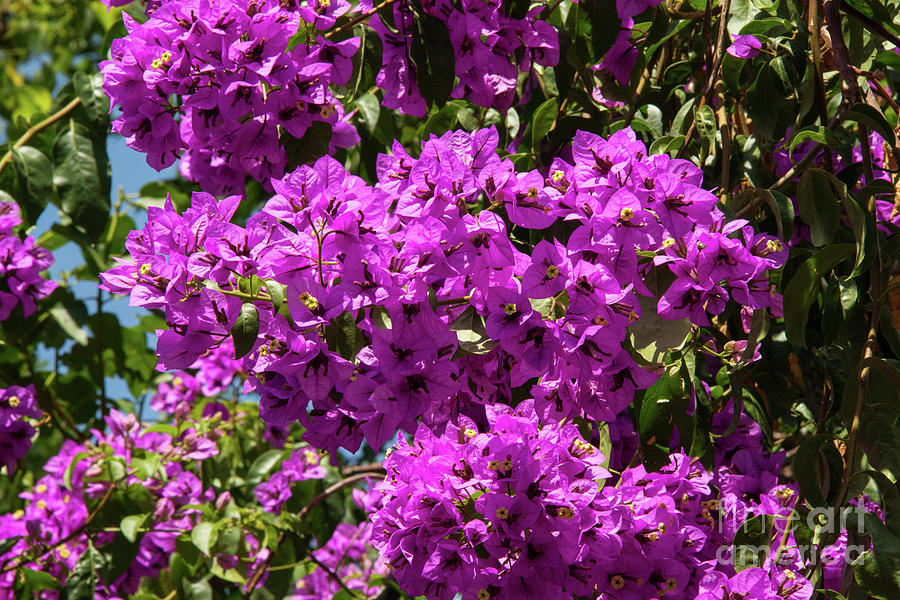 Princes Islands Photograph - Bougainvillea Blooms by Bob Phillips