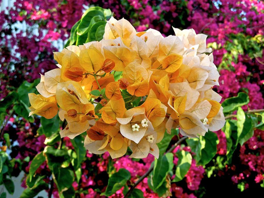 Flowers Photograph - Bougainvillea by Dale Chapel