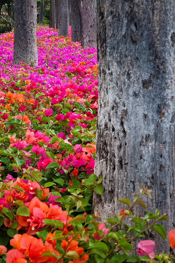 Blossoms Photograph - Bougainvillea Forever by Eggers Photography