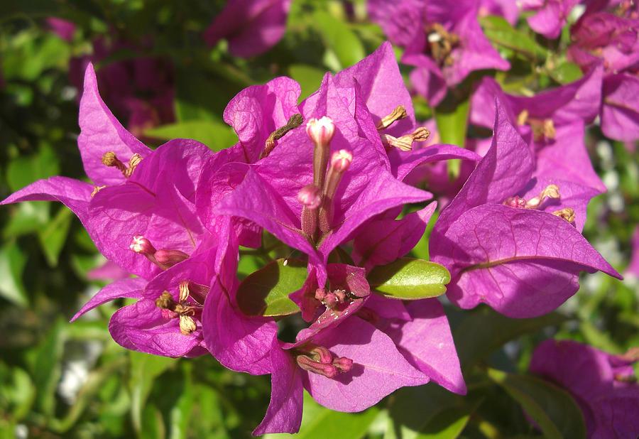 Flowers Photograph - Bougainvillea by Frederic Kohli