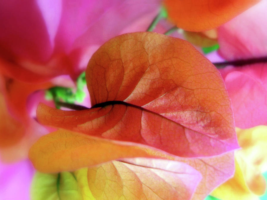 Flowers Photograph - Bougainvillea by Jessica Jenney