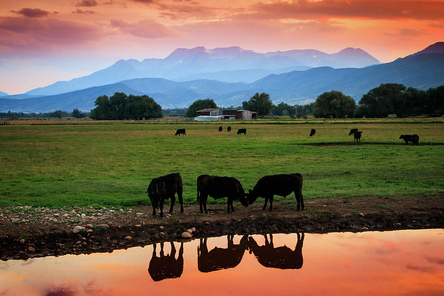 Cows Photograph - Bovine Sunset by Johnny Adolphson