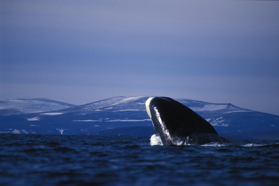 Bowhead Whale Photograph - Bowhead Whale Balaena Mysticetus by Nick Norman
