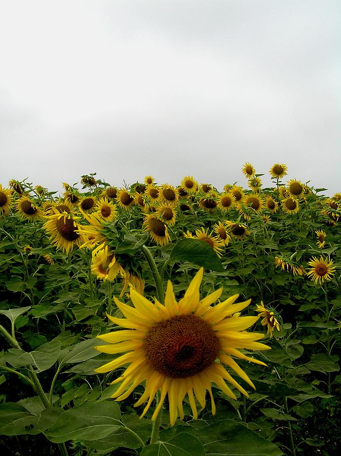 Sunflower Photograph - Bowing To The Crowd by Jeanette Oberholtzer