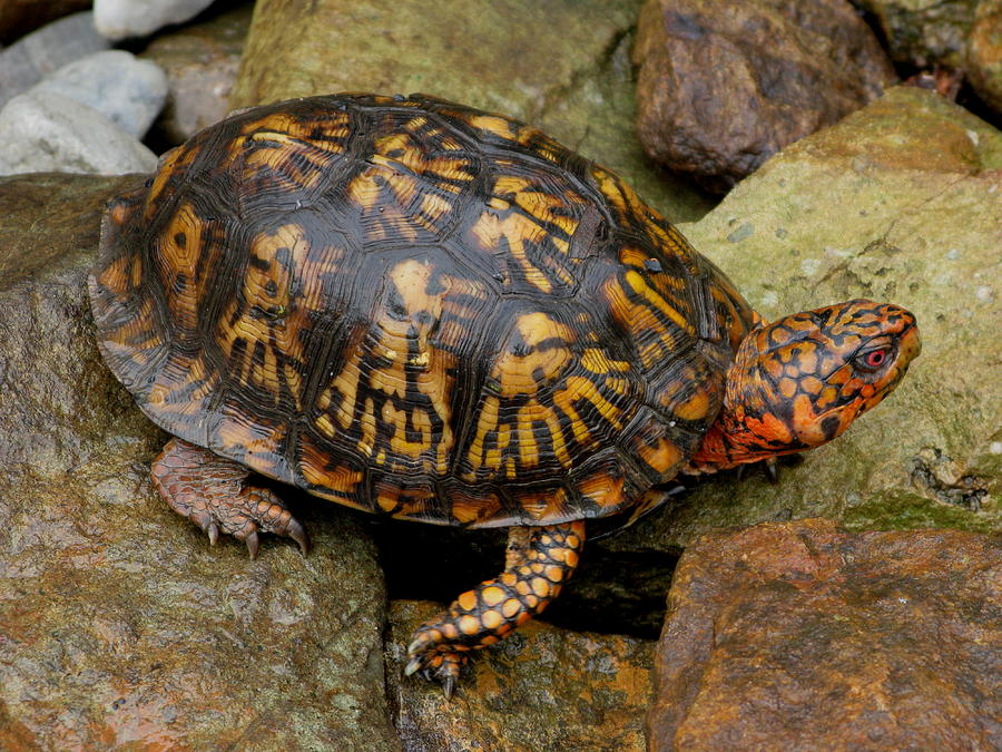 Turtle Photograph - Box Turtle by Laura Corebello