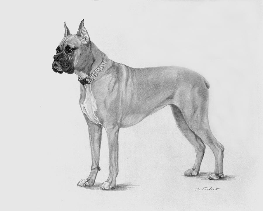 Dog Drawing - Boxer At Attention by Phyllis Tarlow