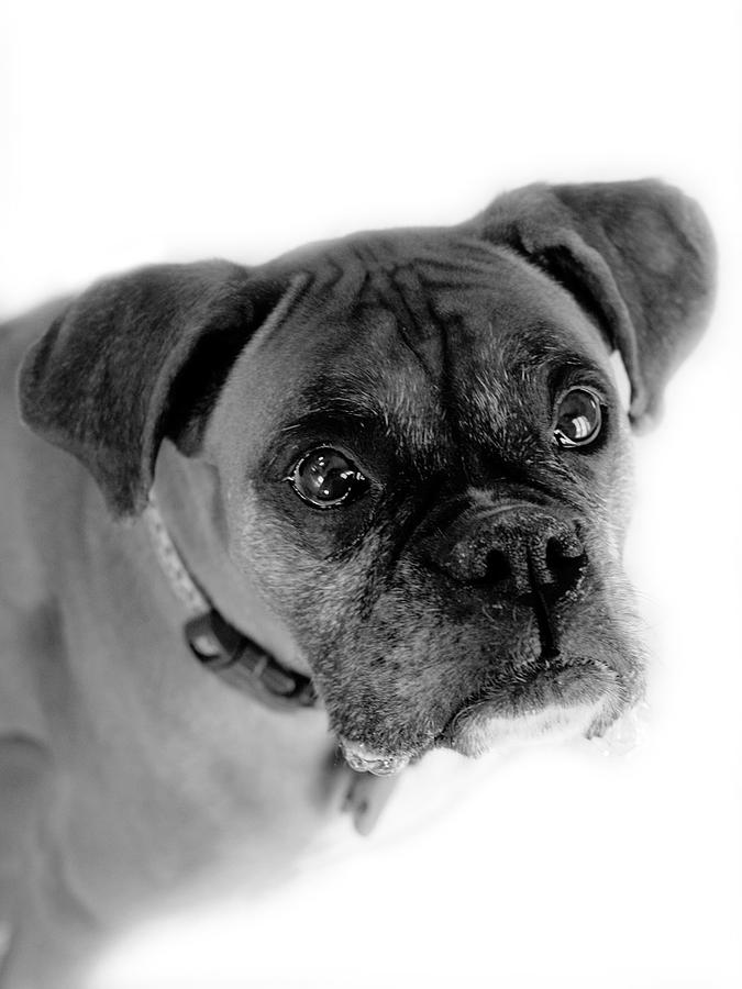 Boxer Photograph - Boxer Dog by Marilyn Hunt