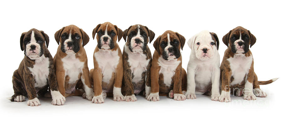 Animal Photograph - Boxer Puppies by Mark Taylor