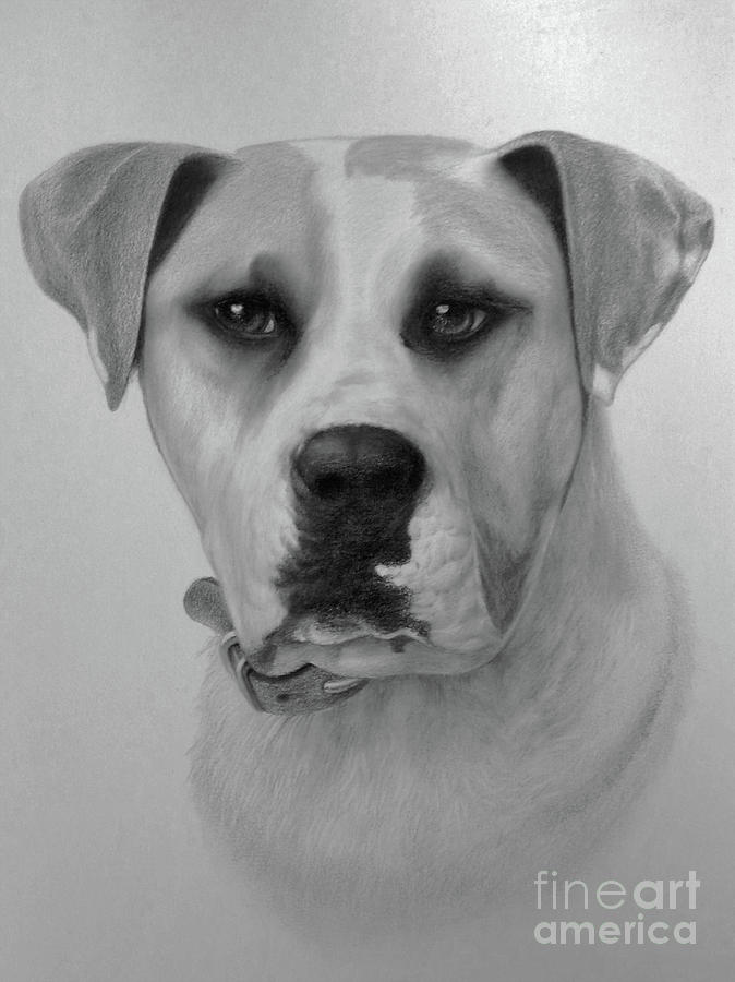 Dog Drawing - Boxer. by Wayne Evans