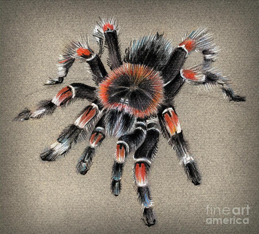 Brachypelma Smithi  Mexican Red Knee Tarantula Drawing