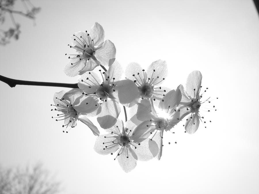 Black And White Photograph - Bradford Pear Blossom Black And White by Michelle Willer