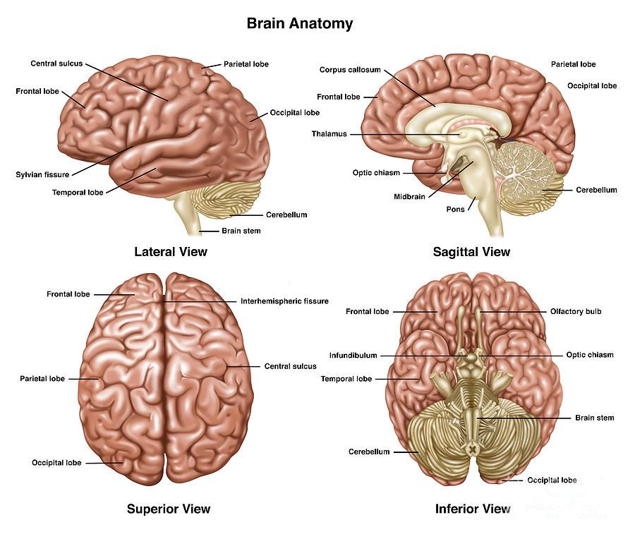 Brain Anatomy, Illustration Photograph by Gwen Shockey