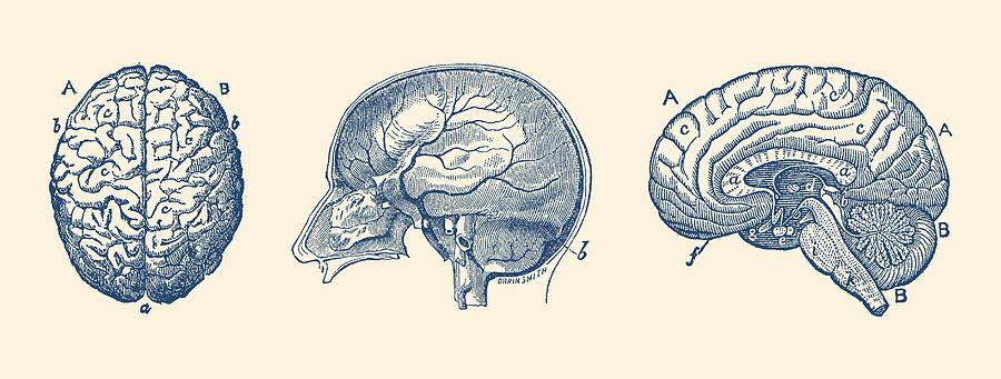 Brain diagram three views vintage anatomy print drawing by brain drawing brain diagram three views vintage anatomy print by vintage anatomy prints ccuart Image collections