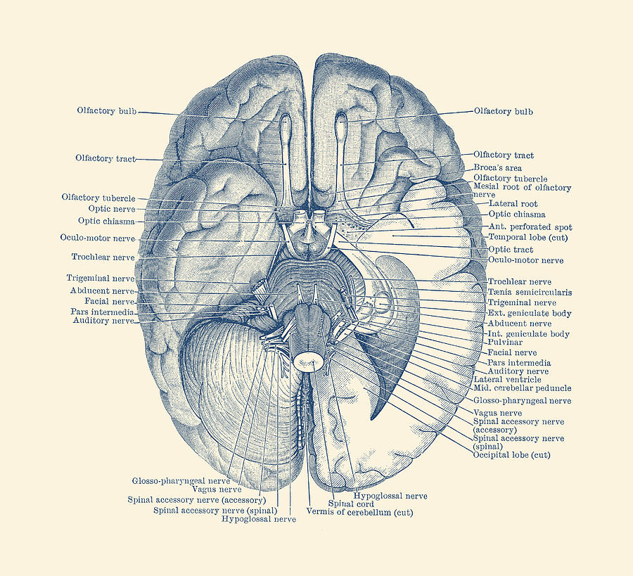 Brain Nervous System Diagram
