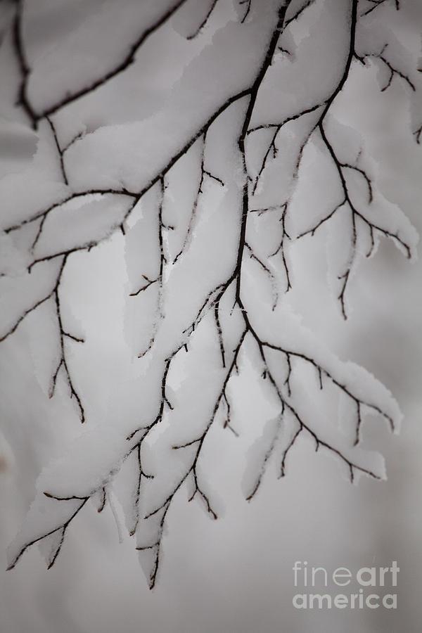 Winter Photograph - Branch by Gabriela Insuratelu