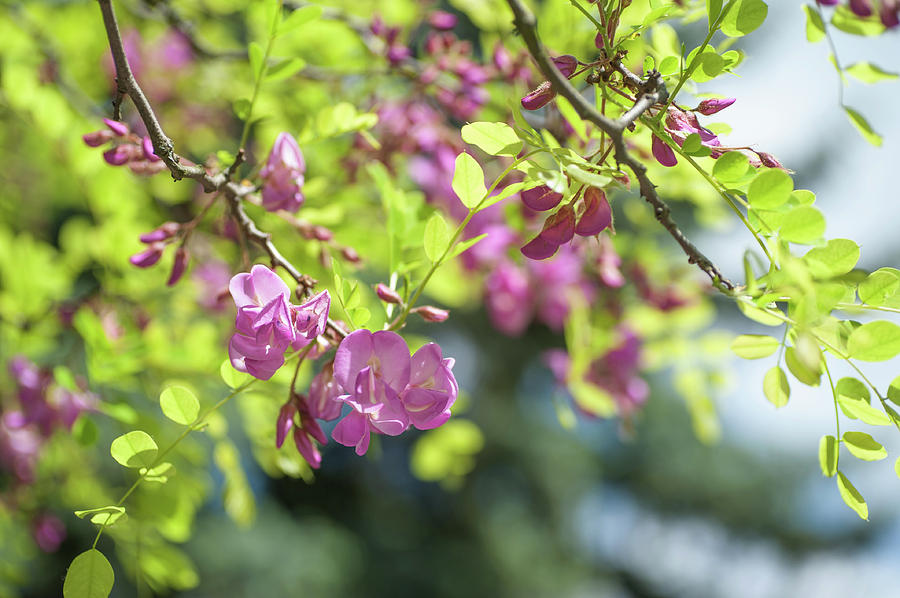Branches Of Blooming Purple Acacia Photograph By Jenny Rainbow