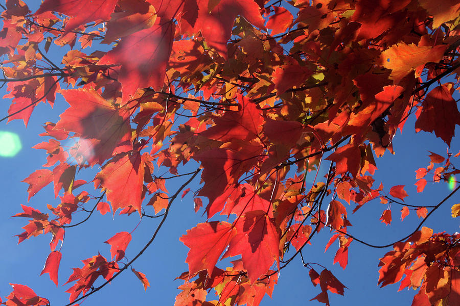 Branches of red maple leaves on clear sky background by Emanuel Tanjala
