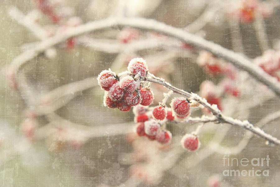 Beautiful Photograph - Branches With Early Winter Frost With Red Berries by Sandra Cunningham