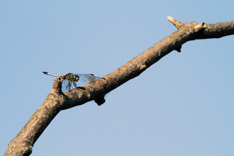 Insect Photograph - Branching Out by Karol Livote