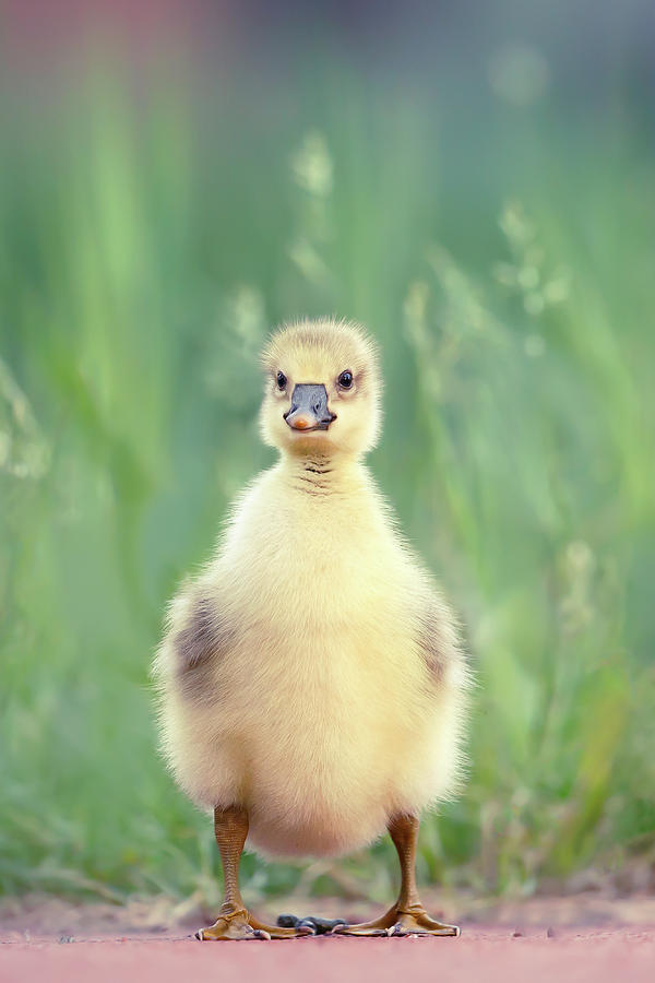 Gosling Photograph - Brave New Baby - Gosling Ready To Conquer The World by Roeselien Raimond