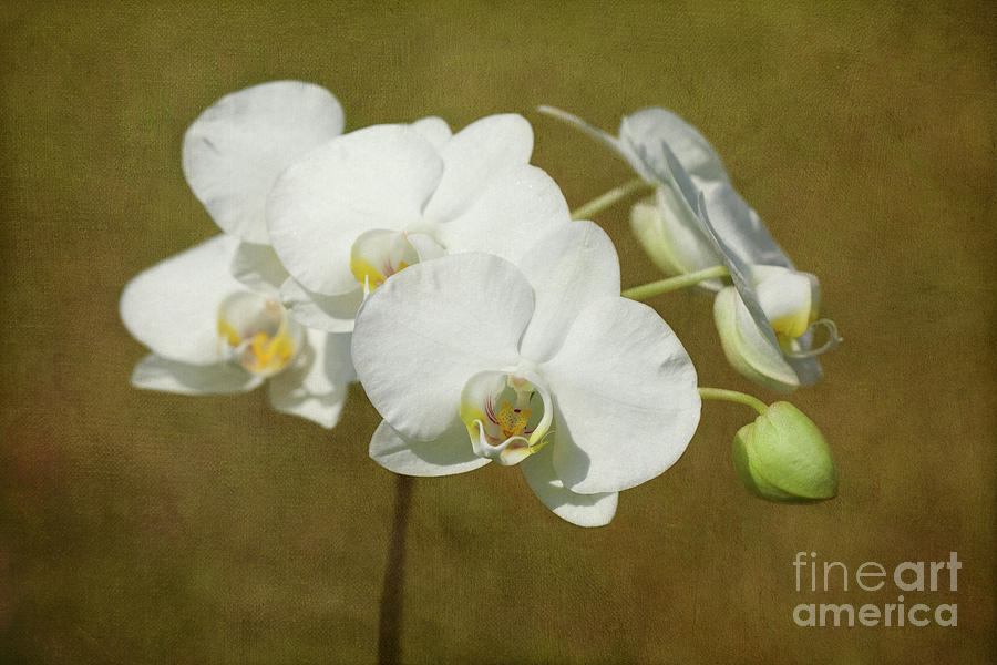 Orchid Photograph - Brazen Beauty by Beve Brown-Clark Photography