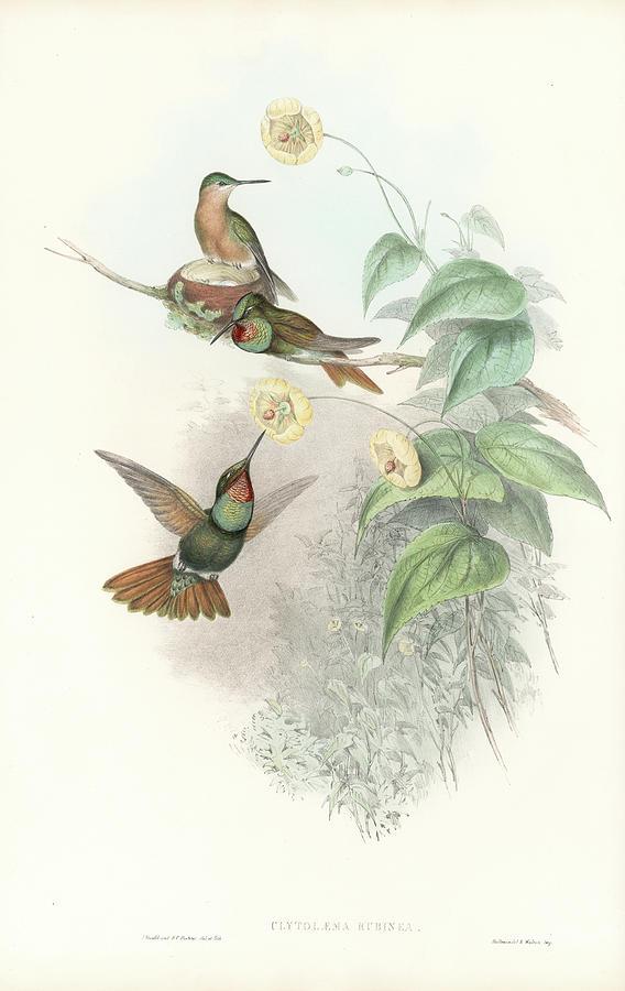 Brazilian Ruby Hummingbird Clytolaema rubricauda by John and Elizabeth Gould