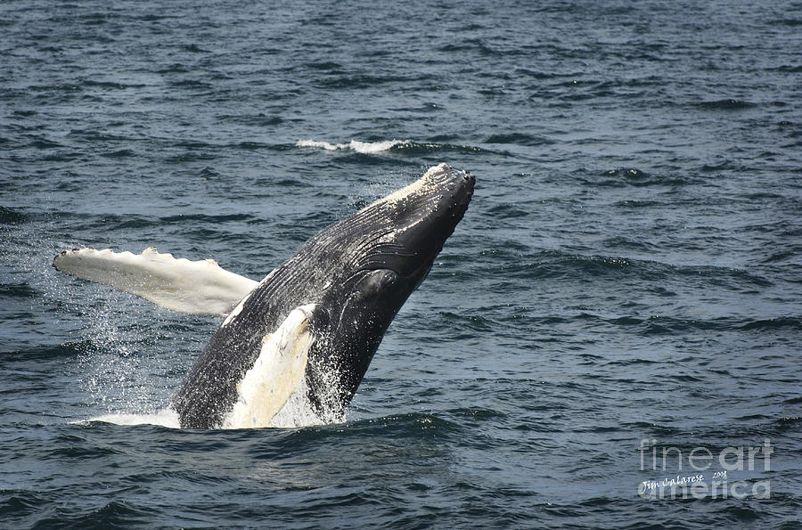 Whale Photograph - Breaching Humpback Whale by Jim  Calarese