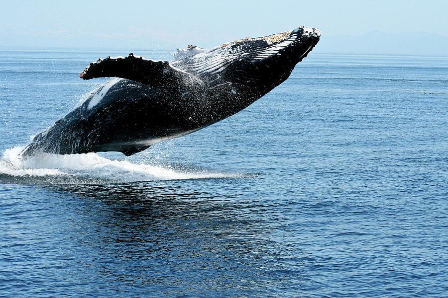 Alaska Photograph - Breaching Humpback Whales Happy-2 by Steve Darden