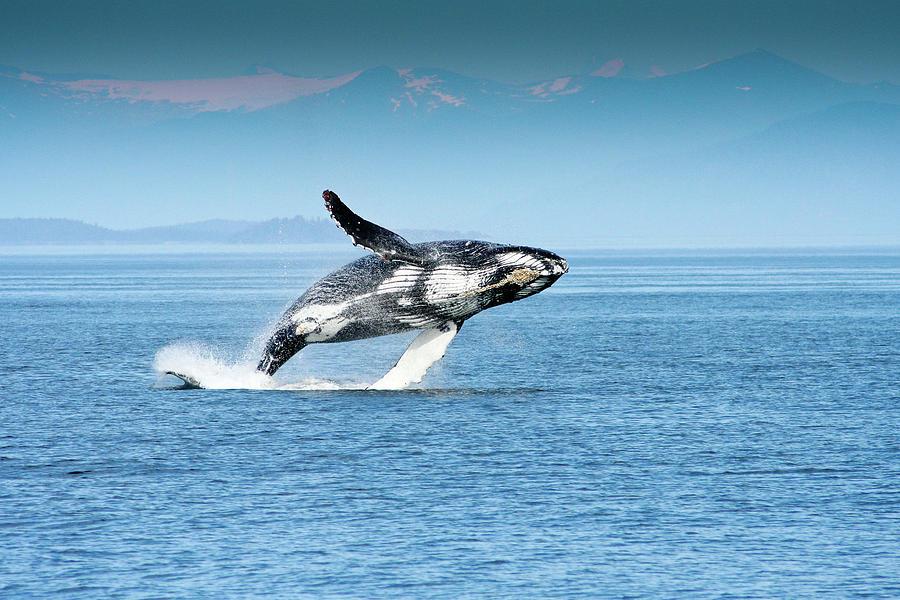 Alaska Photograph - Breaching Humpback Whales Happy-4 by Steve Darden