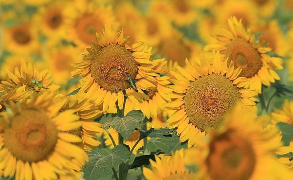 Sunflower Photograph - Breakfast Mmmmm by Donna Hornbuckle