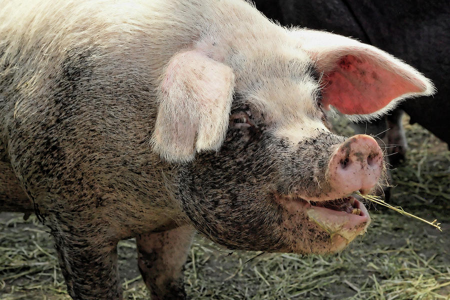 Swine Photograph - Breakfast With A Smile by Gordon Dean II