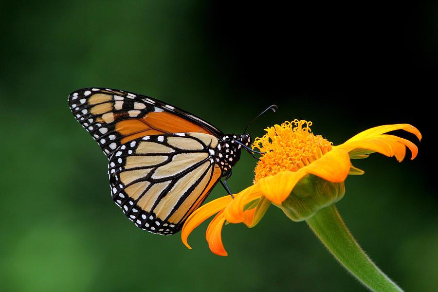 Monarch Photograph - Breaktime by April Wietrecki Green