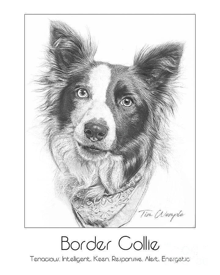 Poster Digital Art - Breed Poster Border Collie by Tim Wemple